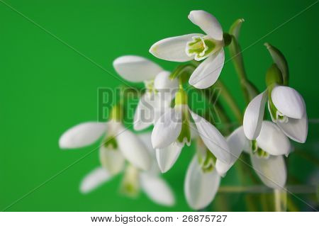 Bouquet of white snowdrops on green background