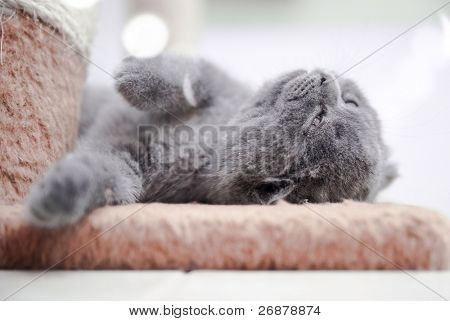pedigree chartreux grey kitten