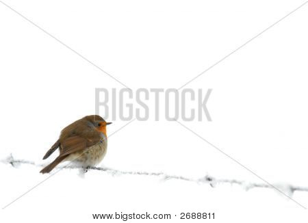 Robin On Frozen Barbed Wire