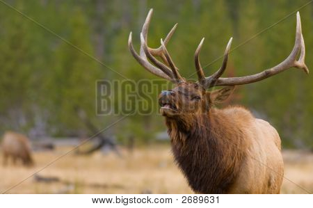 Elk bugling do touro, Parque Nacional de Yellowstone
