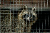 Common Raccoon, Procyon Lotor, Omnivorous Animal With Grey And Brown Fur, Black Eyes And Mask Around poster