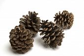 stock photo of pine-needle  - isolated large pine cones - JPG
