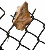 Fallen Yellow Autumn Linden Limetree Leaf Caught On Rusty Wire Mesh Fence, Isolated Vertical Closeup poster