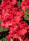 Rhododendron Hybrid Rabatz (rhododendron Hybrid), Flowers Of Springtime poster