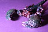 Постер, плакат: Скорпион под фиолетовый свет