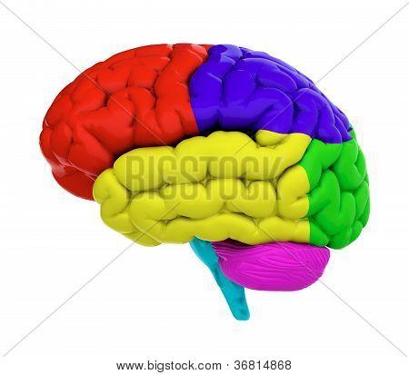 farbige Gehirn