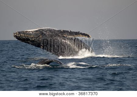 Humpback Whale Breaching Next To Other Whale