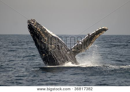 Humpback Whale Breaching With Spray