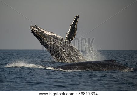 Humpback Whale Breaching Next To Another Whale