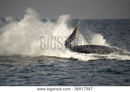 Humpback Whale Huge Breach Splash