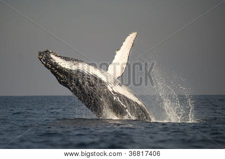 Spray From Humpback Whale Breaching