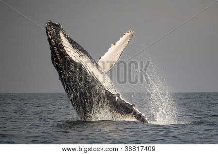 Humpback Whale Breach And Spray