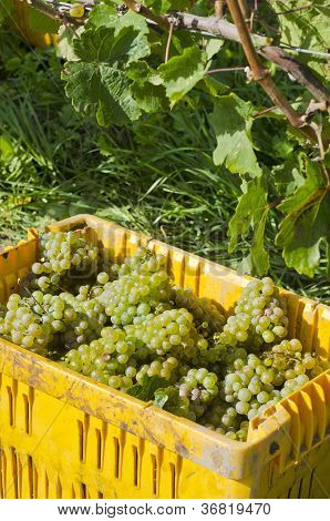 Riesling Wine Grape Harvest