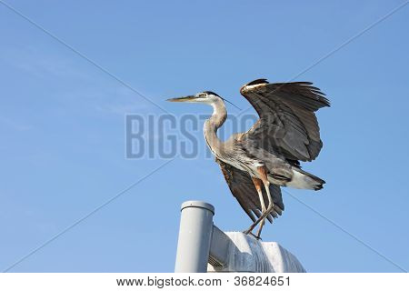 Great Blue Heron With Wings Spread Near Sarasota, Florida