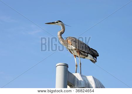 Great Blue Heron Standing On A Pole Near Sarasota, Florida