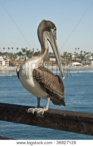 Pelicans are Limber