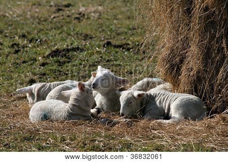 Spring lambs enjoying the sun