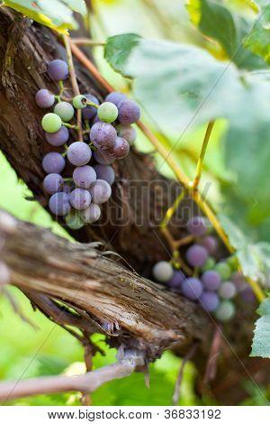 Purple Grapes On A Vine, Closeup