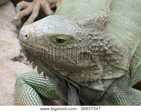 Iguana - the distinct lizard