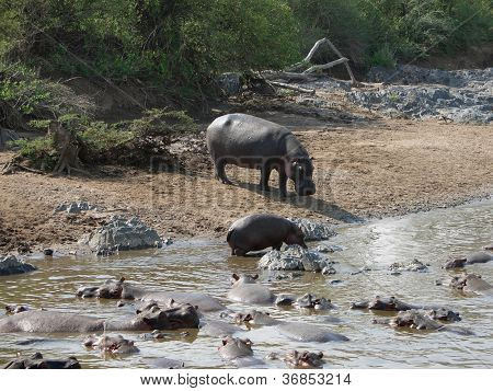 Some Hippos Waterside