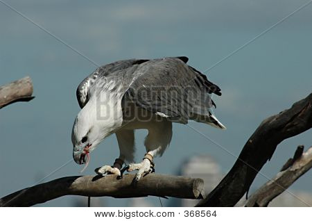 Eagle With Its Prey