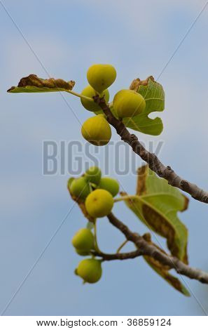 Mellow Figs On Three Branch