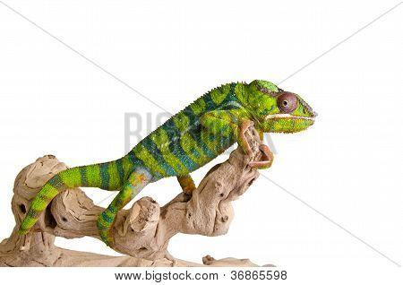 Camaleão colorido