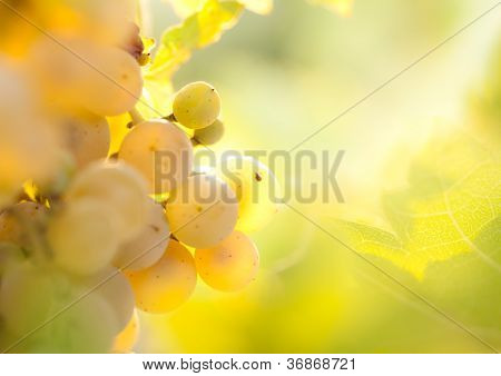 Golden bunches of grapes