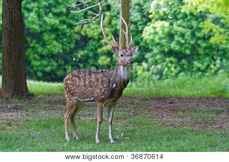 Spotted deer in the wild