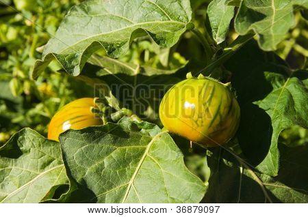 Heirloom Tomato Plant