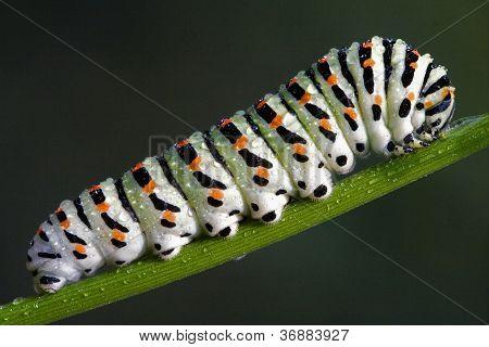 Raupe von papilionidae