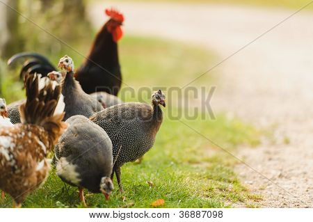 guinea fowl and chicken