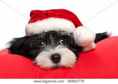 Natal bonito Havanese cachorro