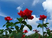 Rose Bush On Blue Sky Background poster