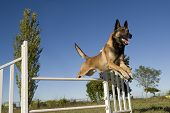 stock photo of belgian shepherd  - purebred belgian sheepdog malinois in a training of agility - JPG