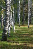 image of birchwood  - birchwood in an early autumn in the sunny day - JPG