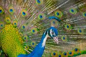 pic of peahen  - An Indian peafowl is spreading it - JPG