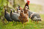 stock photo of guinea fowl  - A group of guinea fowl and chicken feeding in bright sunlight