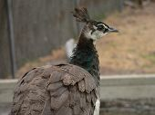 stock photo of peahen  - peahen close up - JPG