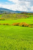 stock photo of apennines  - Olive Grove on the Slopes of the Apennine Mountains Italy - JPG