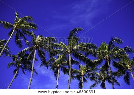 Coconut Palms And Blue Skies