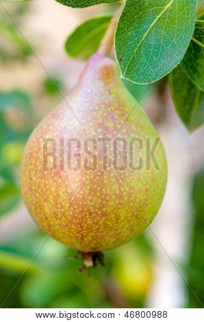 Raw Pear