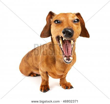 Dachshund dog yelling