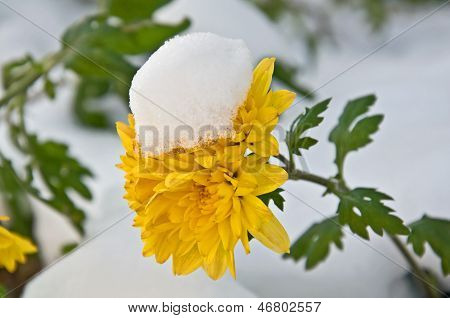 Newly Fallen Snow On Yellow Mum Flower