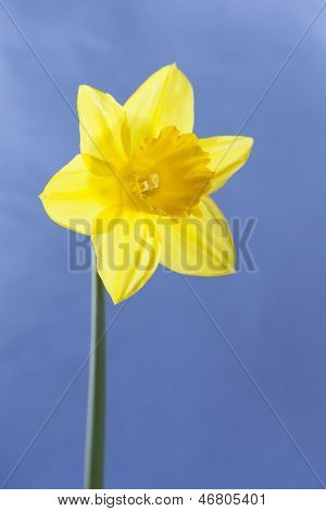 Isolated Single Dafodil On Sunny Blue Background