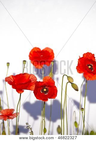 Field of beautiful red poppies isolated on white with shadow