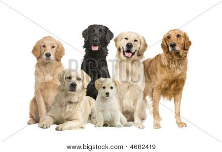 Gruppe 6 golden Retriever und Labrador vor die Kamera