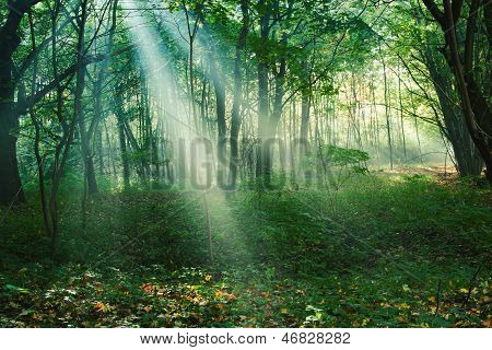 Sun Rays Between Trees In Forest