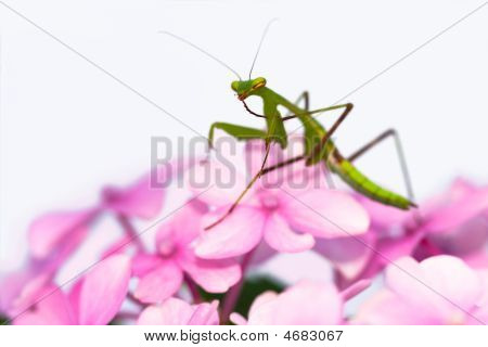 Praying Mantis Pink Flower Sideview
