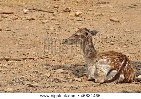 Rhodian Fallow Deer